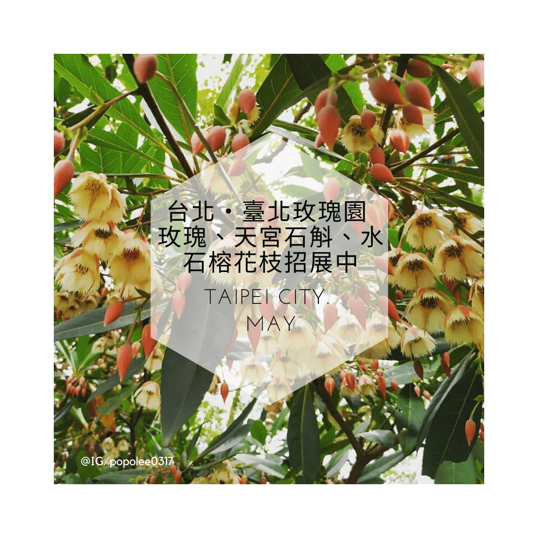 臺北玫瑰園 玫瑰、天宮石斛、水石榕花枝招展中