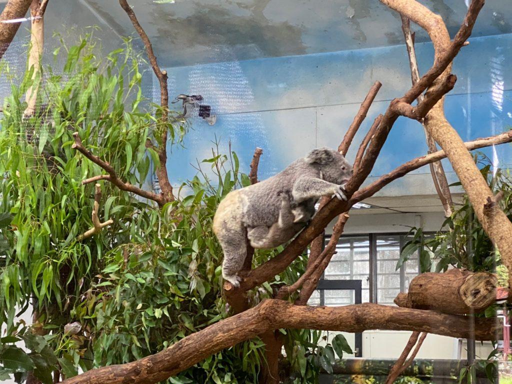 動物園,台北動物園,台北市立動物園,無尾熊