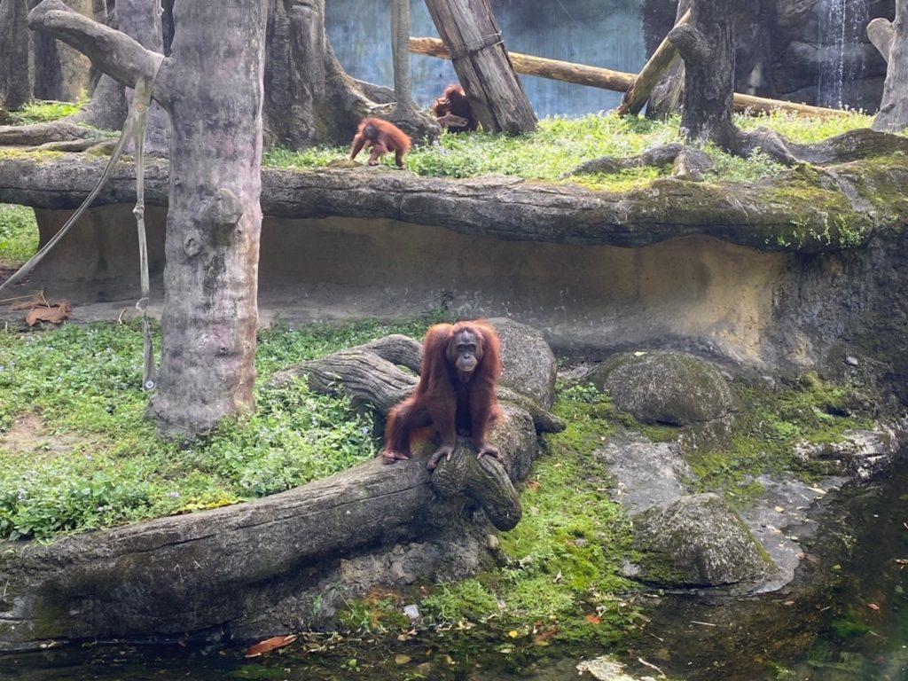 動物園,台北動物園,台北市立動物園,紅毛猩猩
